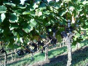 Blaufränkisch, Weingut Nägele-Baden